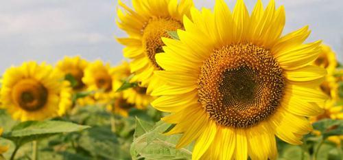 为什么向日葵总是向着太阳?向日葵向着