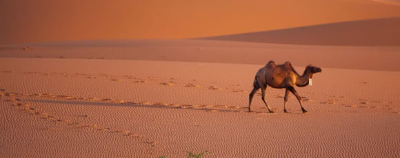 为什么骆驼能在沙漠里生活?不渴也不饿