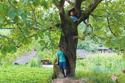 为什么空心的老树还能活?