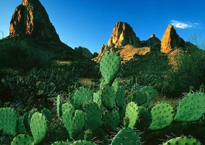 为什么仙人掌能在沙漠里存活?