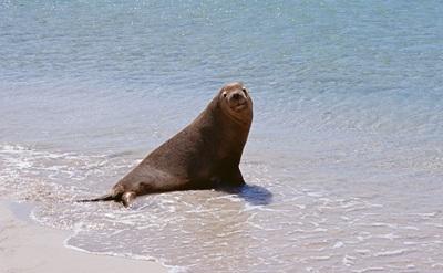 为什么海狮和海豹要吞石头?
