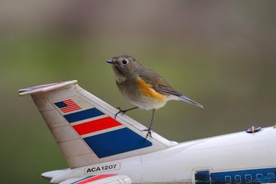 小小的飞鸟为什么会造成飞机失事?