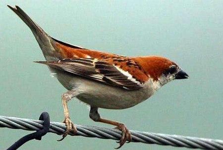 麻雀是益鸟还是害鸟?