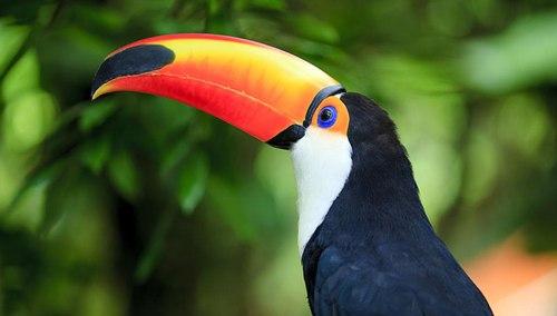 巨嘴鸟的嘴有什么作用?
