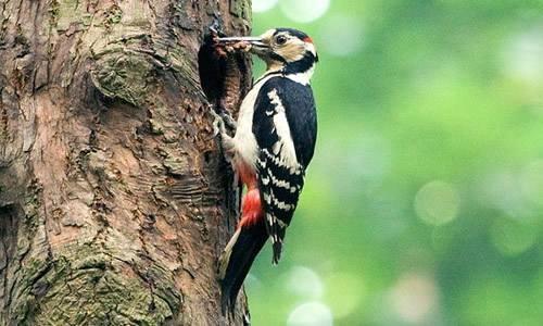 """啄木鸟是怎样为树""""治病""""的?"""