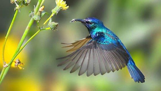 为什么蜂鸟可以倒着飞?