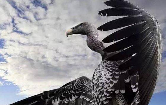 为什么秃鹫的脑袋没有毛_鹫的头和脖子为