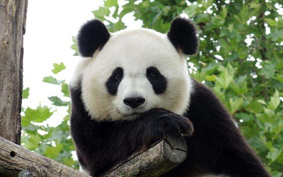 大熊猫为什么是国宝_大熊猫为什么这么少_熊猫数量稀少的原因_十万个为什么