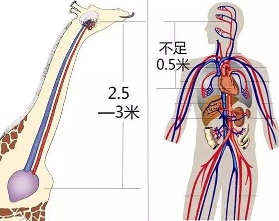 长颈鹿为什么不会脑淤血_长颈鹿高血压的