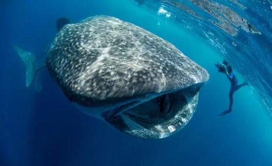 世界最大鱼视频_世界上最大的鱼是什么鱼?_鲸鲨有多大?_十万个为什么