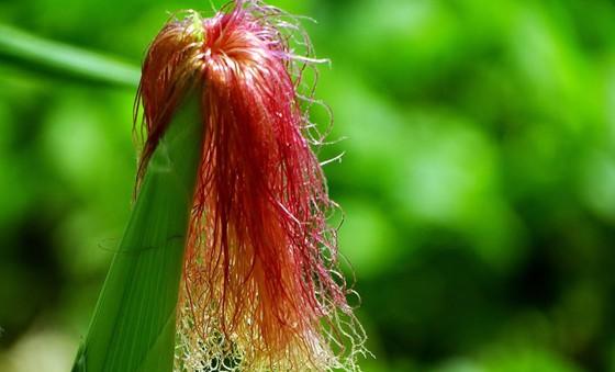 玉米须有什么作用?_玉米须有哪些功效?